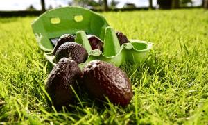 Miniature Avocados