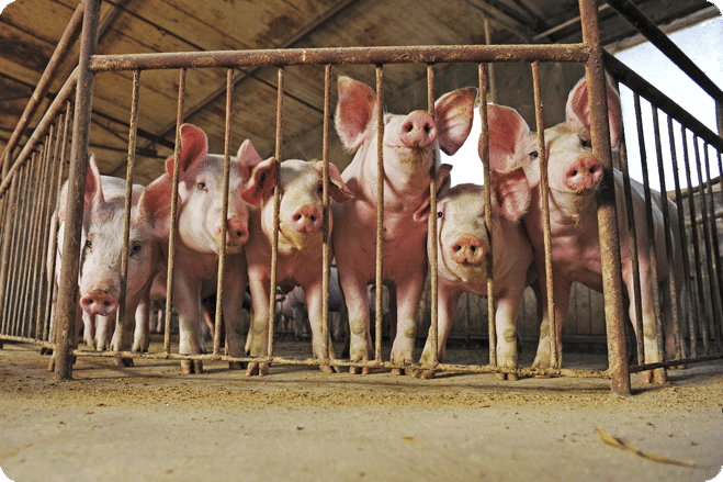 Pigs In Abattoirs May Experience Welfare Issues Due To Shortage Of Carbon Dioxide